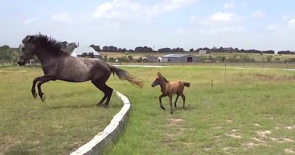 Αλογάκι μαθαίνει πρώτη φορά να πηδάει από την μαμά του! (Βίντεο)