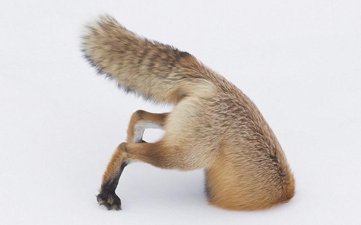 αλεπού