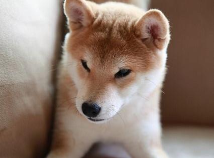 Γνωρίστε τα πανέμορφα σκυλάκια Ακίτα που θα σας κλέψουν αμέσως την καρδιά!!! (Εικόνες)