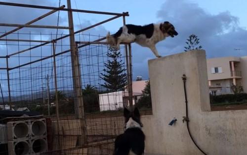 Σκύλος – κομάντο στην Κρήτη παραβιάζει με απίστευτο τρόπο το φράχτη για να παίξει με τη φίλη του! (Βίντεο)