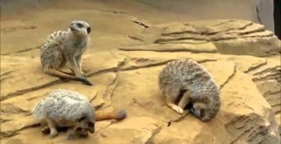 Ένα πολύ κουρασμένο σουρικάτα (Βίντεο)
