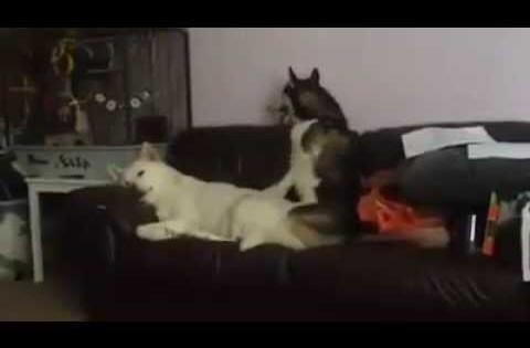 Ξεκαρδιστικό: Το χάσκι που προσπαθεί να ξυπνήσει τον κολλητό του!  (Βίντεο)