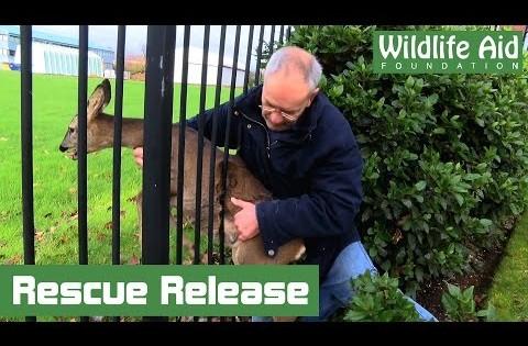 Ένα ελαφάκι κόλλησε στο φράχτη υποφέροντας και τότε..(Βίντεο)
