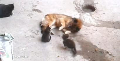 Η μαμά γάτα με τα μικρά της επισκέπτονται έναν παλιό φίλο (Βίντεο)