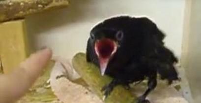 Το κοράκι και το δάχτυλο (Βίντεο)