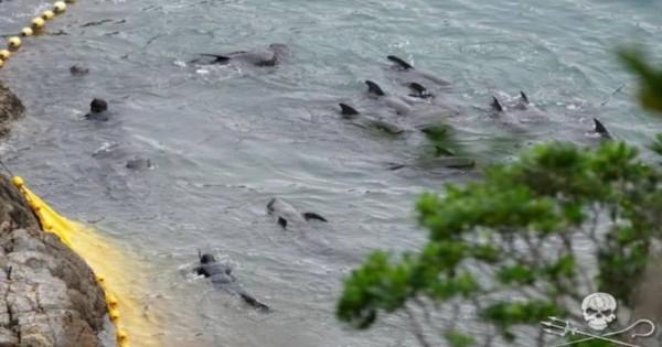Φάλαινα προσπαθεί να αυτοκτονήσει για να γλιτώσει από τους κυνηγούς- Πέφτει με δύναμη στα βράχια (βίντεο)