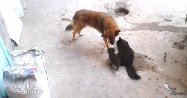 Δε θα πιστεύετε τι έκανε αυτός ο σκύλος όταν συνάντησε μερικά γατάκια (Βίντεο)