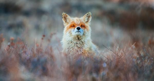 Ρώσος μεταλλωρύχος φωτογραφίζει αλεπούδες στα διαλείμματά του (Εικόνες)