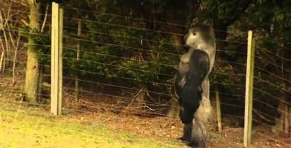 Ο γορίλας που περπατά σαν άνθρωπος (Βίντεο)