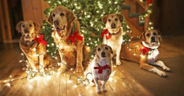 35 Περιπτώσεις Σκύλων που απλά… Λατρεύουν τα Χριστούγεννα! (Εικόνες)