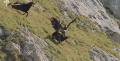 Αετός εναντίον αίγαγρου (Βίντεο)