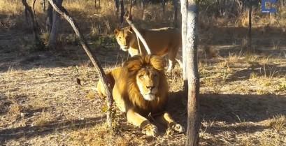 Η λέαινα τρομάζει το λιοντάρι (Βίντεο)