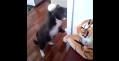 Η γάτα που μισεί τις τίγρεις (Βίντεο)