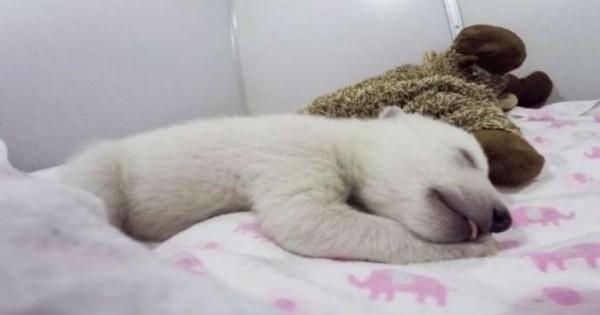 Αυτό το μικρό αρκουδάκι έβγαζε ένα περίεργο θόρυβο κατά την διάρκεια του ύπνου!Ακούστε! (Βίντεο)