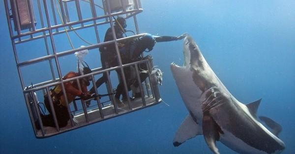 Δύτης χάιδεψε μεγάλο λευκό καρχαρία στη μύτη (Εικόνες)