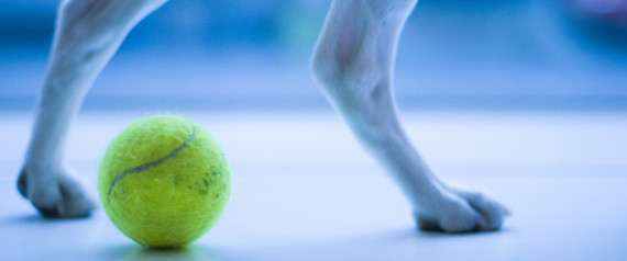 Dogs legs and tennis ball