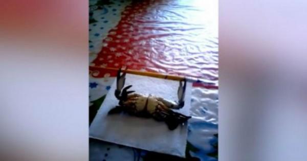 Ένα καβούρι κάνει προπόνηση με βάρη. Καταπληκτικό! (Βίντεο)