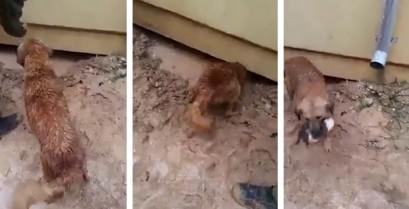 Σκύλος σώζει κουτάβι από πνιγμό (Βίντεο)