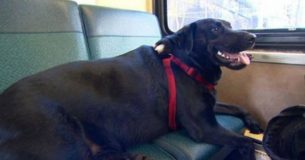 Λαμπραντόρ παίρνει μόνο του το λεωφορείο για το πάρκο… και επιστρέφει! (φωτό & βίντεο)