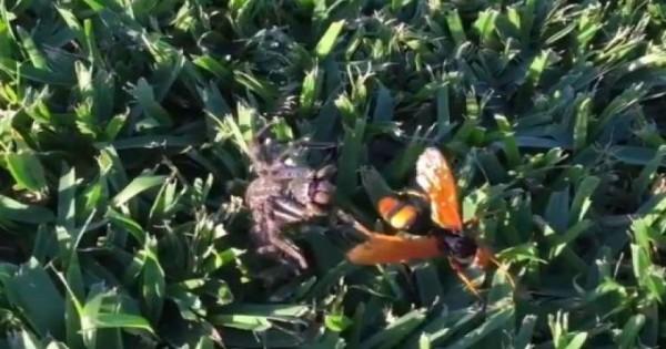 Η μάχη μέχρι θανάτου της γιγαντιαίας σφήκας με μία αράχνη (βίντεο)