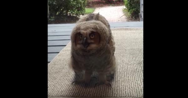 Κοιτούν έξω από την πόρτα και βλέπουν αυτή την κουκουβάγια να τις κοιτά! Είναι απίθανο! (Βίντεο)