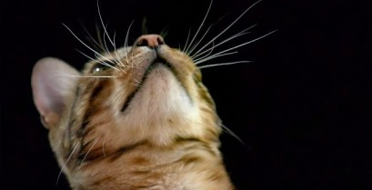 Πως οι γάτες χρησιμοποιούν τα μουστάκια τους (Βίντεο)