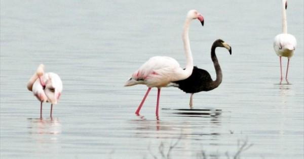 Το μαύρο φλαμίνγκο εμφανίστηκε στην Κύπρο (Εικόνες)