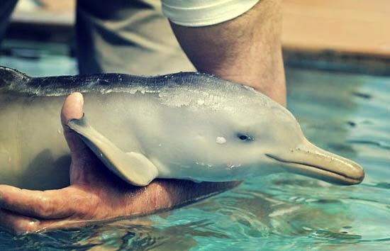 δελφίνι