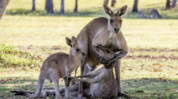 Σπαρακτικές φωτογραφίες! Καγκουρό πεθαίνει στην αγκαλιά του συντρόφου και του παιδιού της (Εικόνες)