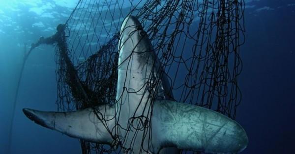 Καρχαρίας, ένας παρεξηγημένος και ευάλωτος κυνηγός (Εικόνες)