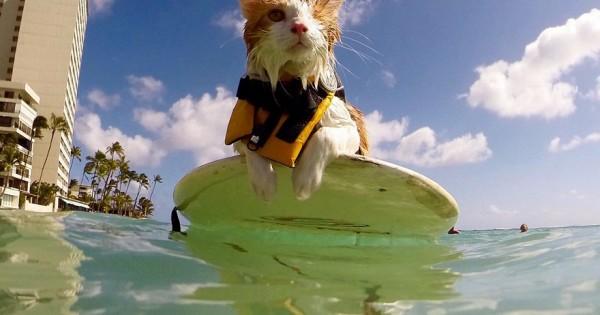 Η πανέμορφη μονόφθαλμη γάτα που λατρεύει να κολυμπάει και να κάνει surf στη Χαβάη (Βίντεο)