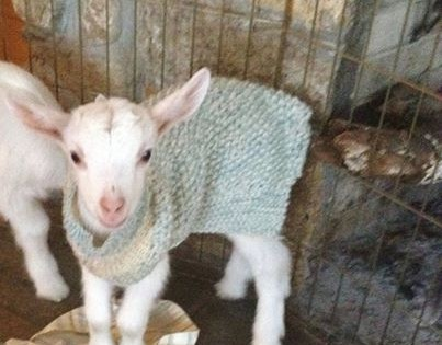 Αυτή είναι η καλύτερη δουλειά στον κόσμο: Φάρμα ζητάει εθελοντές για να παίζουν με μικρά προβατάκια! (Βίντεο)