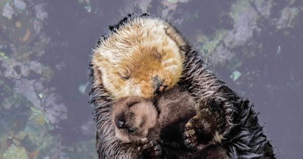 Ό,τι πιο γλυκό θα δείτε σήμερα: Μωρό-βίδρα 1 ημέρας κουρνιάζει στην αγκαλιά της μητέρας του! (Βίντεο)