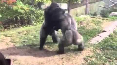 Μποξ ανάμεσα σε γορίλες σε ζωολογικό κήπο της Νεμπράσκα. Βροχή οι γροθιές! (βίντεο) …