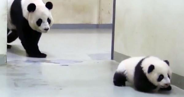 Αυτό το μωρό Πάντα προσπαθεί να αποφύγει την ώρα του ύπνου δείτε όμως την αντίδραση της μαμάς του… (Βίντεο)