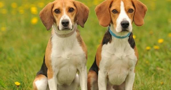 7 ράτσες σκύλων που προτιμούν την ανθρώπινη συντροφιά (Εικόνες)
