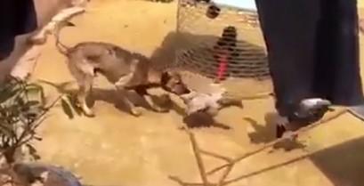 Σκύλος προσπαθεί να σταματήσει τον καβγά των κοτόπουλων (Βίντεο)