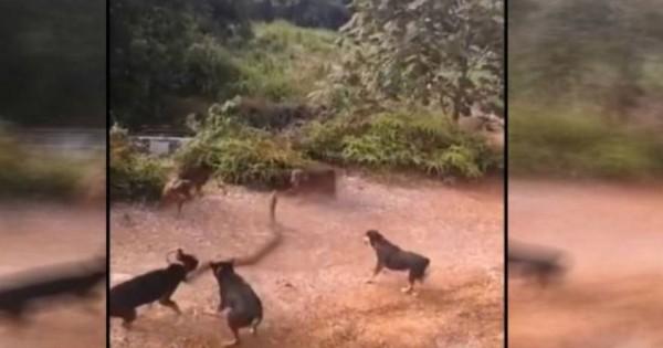 Επική μάχη: Βασιλική κόμπρα »πολεμά» με πέντε σκυλιά (video)