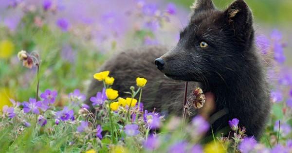 Ανακαλύψτε τη μαγευτική και μυστικιστική ομορφιά των μαύρων αλεπούδων. Τέλειες. (Εικόνες)