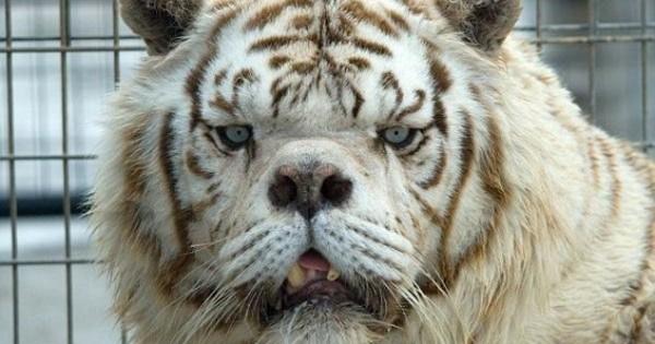 Βγαλμένη από θρίλερ: H ασχημότερη τίγρης του πλανήτη! (Εικόνες)