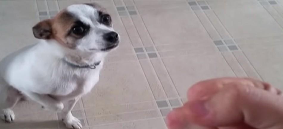 Σκύλος κουνγκ φου