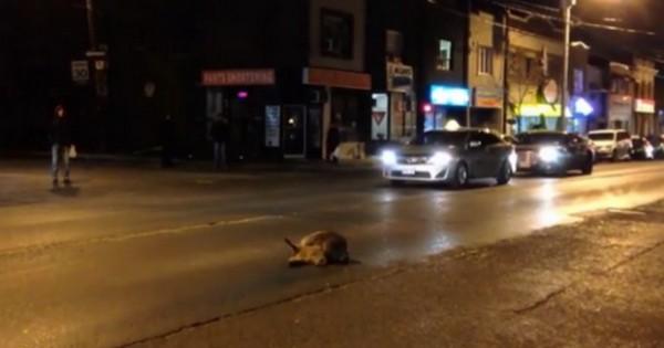 Ραγίζει καρδιές! Ρακούν προσπαθεί να ξυπνήσει τον νεκρό φίλο του (βίντεο)