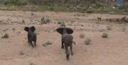 Ελέφαντες προστατεύουν το μικρό τους από αρπακτικά (βίντεο)