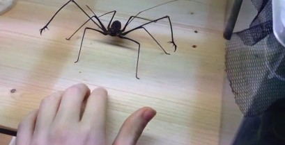 Η τρομακτική αράχνη Euphrynichus Amanica