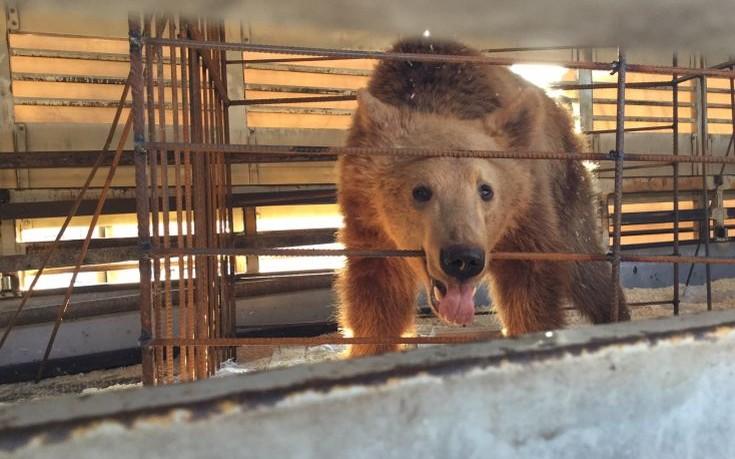 Αρκτούρος αρκούδες
