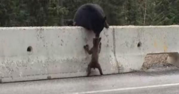 Βίντεο: Η συγκινητική στιγμή που η αρκούδα αρπάζει από το κεφάλι το μικρό της που έχει βγει σε εθνικό οδό!