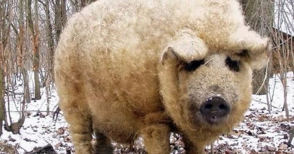 Απίστευτη ιστορία: Το γουρούνι που μοιάζει με πρόβατο και… λειτουργεί σαν σκύλος