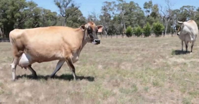 cow-810x425