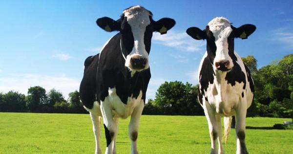 Πού κοιτάζουν οι αγελάδες την ώρα που βόσκουν;