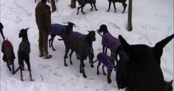 Δείτε τι συνέβη όταν αποφάσισε να «αμολύσει» 35 Μεγάλους Δανούς στο χιόνι!